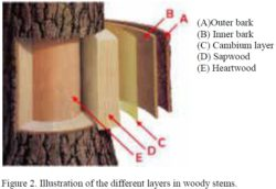 Layers in Woody Stems