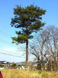 Pine Tree Decay