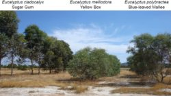Sap Flow and Phytoremediation